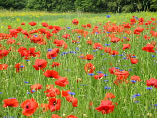 poppies on summer field
