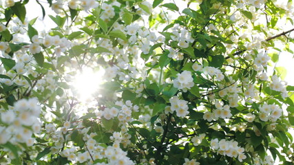 Sun shining through the blooming apple tree