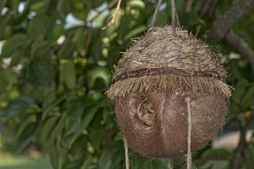 bird coconut nest
