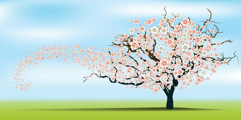 Spring wind rips cherry blossom tree.