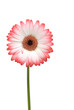 canvas print picture - Gerbera