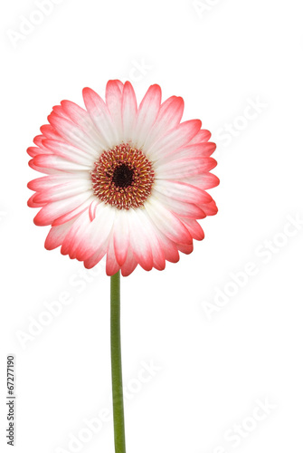 canvas print picture Gerbera