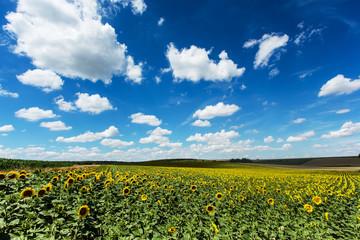 Sonnenblumenfeld mit Quellwolken