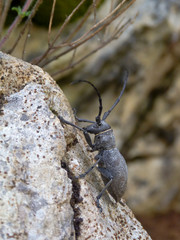 cerambice (Morimus asper)