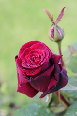 Deep Red English Rose