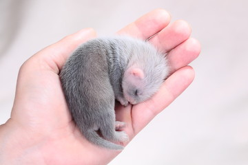 Ferret baby in human hands