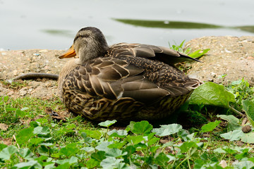 Duck sat in grass flapping wing