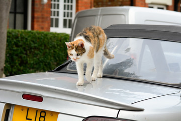 Cat walking over car