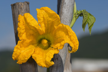 courgette yellow flower pistil zucchini macro