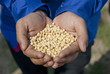 Handful of soybeans, India.