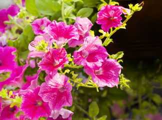 decorative flowers petunia
