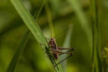 Un piccolo grillo poggiato su uno stelo d'erba