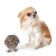 Little owl and chihuahua