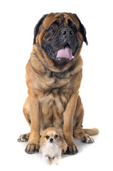 mastiff and chihuahua