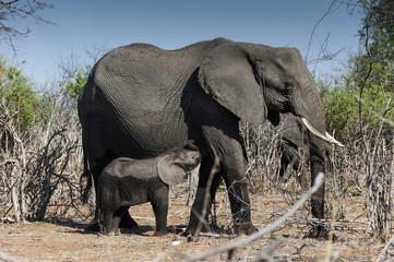 Elefantenmutter mit Kind, Chobe in Botswana