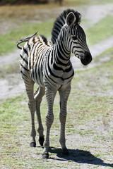 junges Zebra im Chobe Park, Botswana