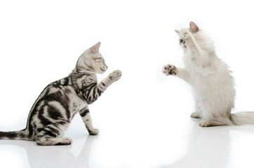Fighting cat