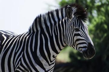 Zebra im Chobe Park, Botswana