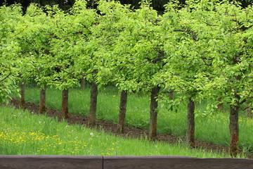 Apfelbäume mit frischem Laub im Frühling