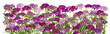 Pink flowers isolated line