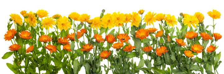 Medical marigold isolated line