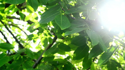 Morning Sunlight through walnut treetop and branches.