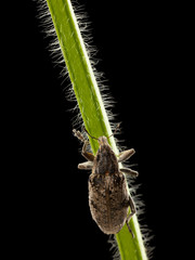 crawling black vine weevil