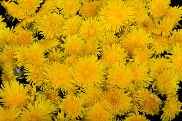beautiful yellow flower of Dandelion
