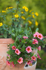 Yellow and pink flowers in the ceramic flowerpot
