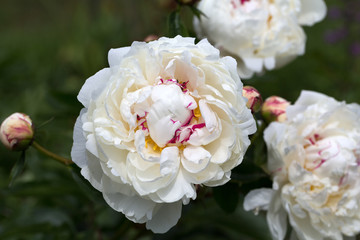 beautiful white peony in garden