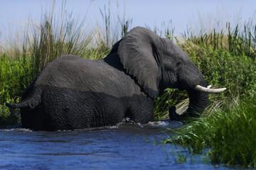 Elefant im Okavango Delta, Botswana