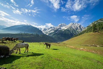 Horses grazing in a summer meadow with green Field and Mountain