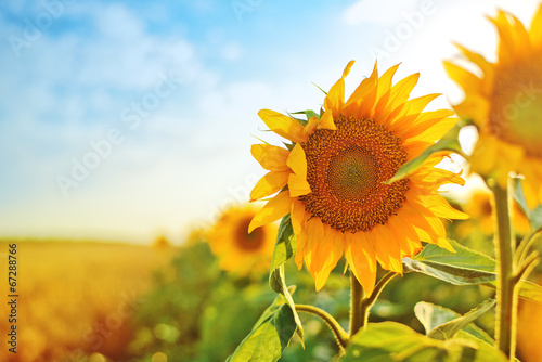 Fotobehang Zonnebloemen Sunflowers in the field