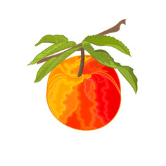 Peach branch with leaves sweet fruit vector illustration