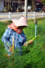 Agriculture at asparagus field in countryside Phetchaburi