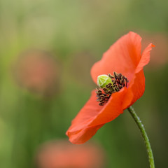 Wild poppy flower on the blurred  background close up