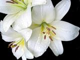 Fotoroleta Белые лилии на черном фоне