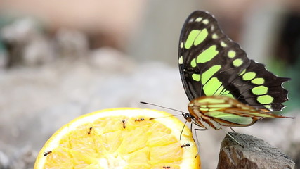 butterfly feeding with orange juice