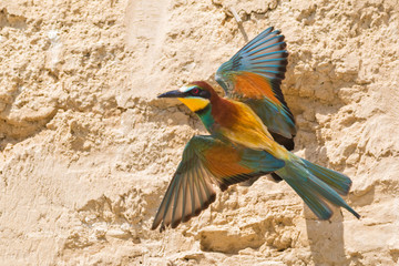 the colors of the bee eater