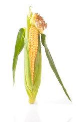 Maize unshucked cob