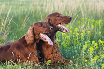 Cute Irish Setter pair lying in the grass in a hot Summer