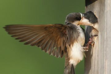 Tree Swallow Feeding Babies