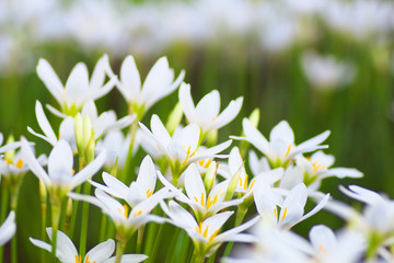 The Zephyranthes flowers