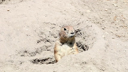 prairie dog watching from hole