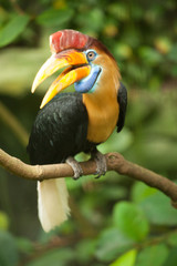 Great hornbill stand on the branch in forest.