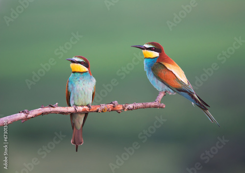 canvas print picture European Bee-eaters In The Evening