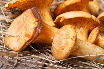 chanterelle mushrooms close up in dry grass horizontal