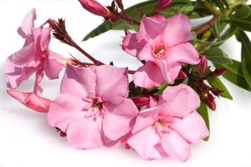 Oleander; Nerium;
