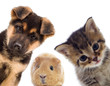 Puppy and kitten and guinea pig - 67306538