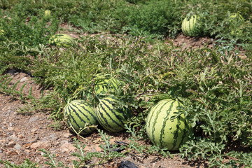Watermelons on the watermelon plantation